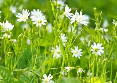 Chickweed: The Magical Weed In Your Backyard